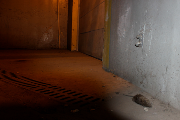 """A dead rat lays under the glowing light of the dock. Chicago is home to the Norway rat. According to the Illinois Department of Public Health, the Norway rat are """"husky, brownish rodents that weigh about 11 ounces. They are about 13 to 18 inches long including the 6 to 8 1/2 inch tail."""""""