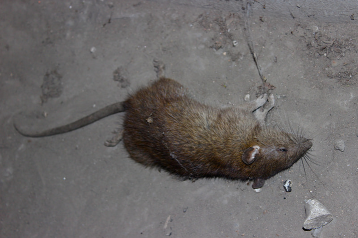 """""""Every single day when I'm working on the dock there are a whole bunch of big fat rats that run around there. I think they're down there because that's where the garbage for us and two hotels in downtown Chicago is,"""" said Sudduth."""